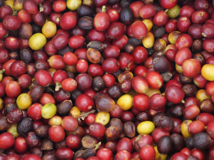 Wat is fermentatie van koffie, thee en cacao?